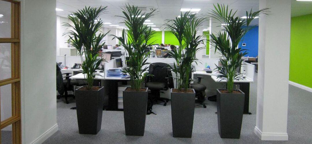 Kentia planta para oficinas