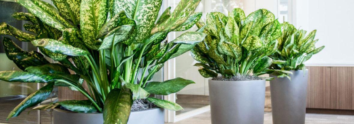 Plantas de interior: Aglaonema