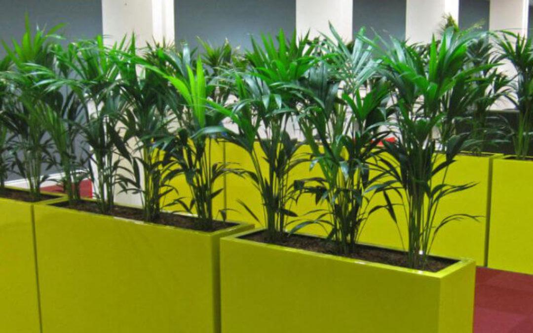 Plantas de interior: Kentia